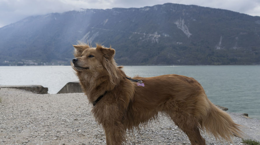Dog standing on lakeshore against mountain