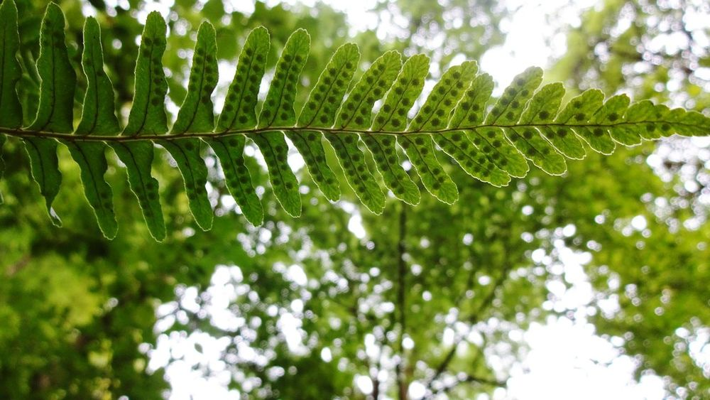 Nature Leaf Growth Beauty In Nature Outdoors Low Angle View Fern Close-up Freshness Perspective No People Walks Love Nature🌲 Beauty In Nature Forest Green Color Light Colour Shaddow Outline Botany