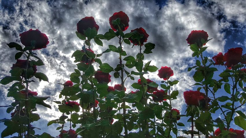 Tickled Red Rose Garden Sky And Clouds Cloud_collection  Roses Roses Are Red Long Stem Rose Bush Hello World Flowers Long Stems Beautiful Spot Let It Grow Line Up On My Walk Today Color Of Life