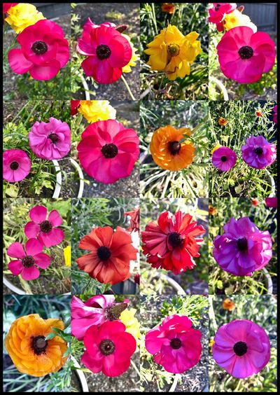 Poppies 🍃🌸🌺🌼🍃 Poppies  Poppy Flowers. Flowerccollage EyeEm Best Shots EyeEm Flowers Collection 🍃🌸🌺🌼🍃