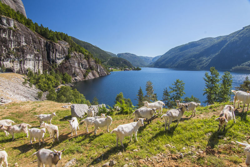 View on goats against lake and sky Goats Norway Animal Animal Themes Beauty In Nature Day Domestic Domestic Animals Group Of Animals Herbivorous Livestock Mammal Mountain Nature No People Outdoors Scenics - Nature Sky Water