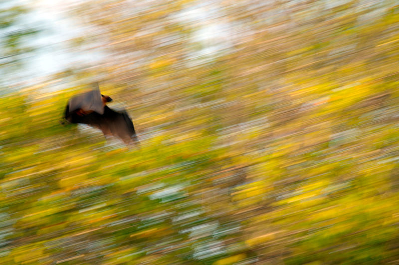 Blurred motion of bird flying over field