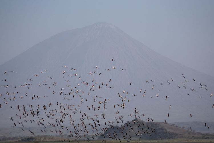Flock of birds flying against mountain