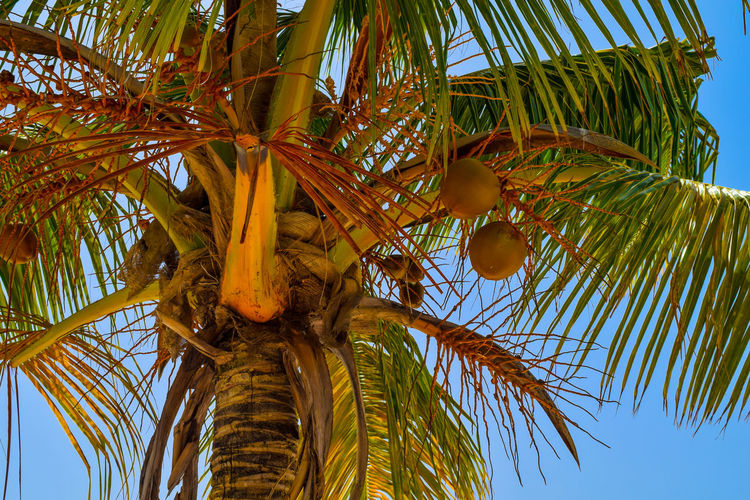 Coconut palm with big coconuts in the caribbean sea, blue sky in background Coconut Holiday Love Meal Beauty In Nature Day Drink First Eyeem Photo Fruit Growth Leaf Low Angle View Nature No People Outdoors Palm Leaf Palm Tree Piña Colada Sky Summer Sun Tree Tree Trunk Tropical Climate Vacation