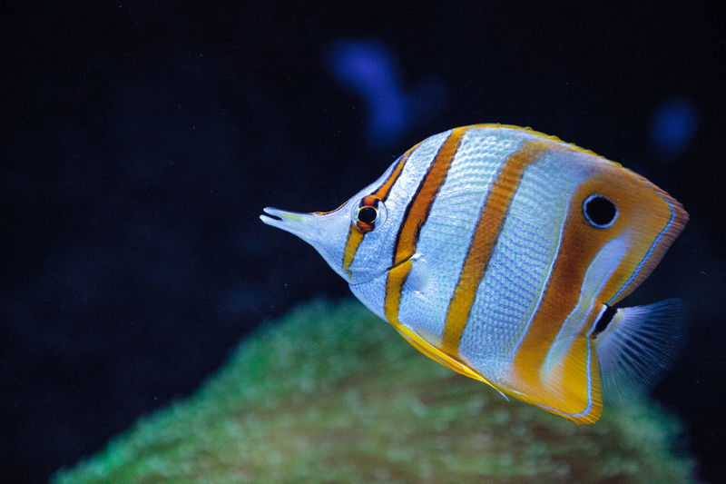 Copper-banded butterflyfish, Chelmon rostratus, picks at the corals on the reef Chelmon Rostratus Copper-banded Butterflyfish Animal Themes Animal Wildlife Animals In The Wild Aquarium Butterflyfish Close-up Clown Fish Coral Reef Fish Nature No People One Animal Sea Life Swimming UnderSea Underwater Underwater Photography Water