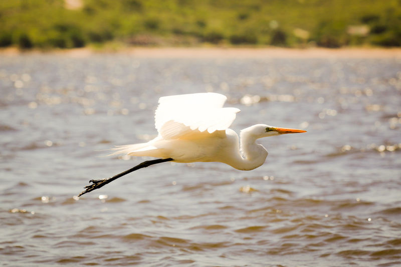 Great white heron flying over lake on sunny day