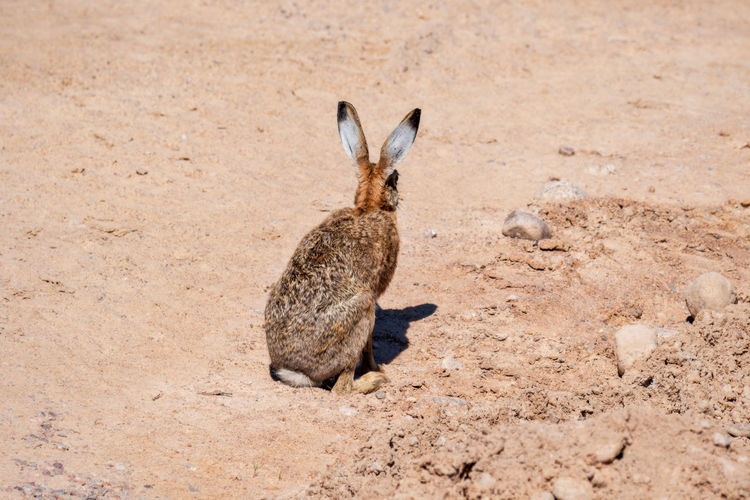 hare - jackrabbit - rabbit in arid sandy terrain Alertness Animal Body Part Animal Wildlife Animals In The Wild Arid Climate Arid Landscape Day Dirt Environment Full Length Hare Land Mammal Nature No People One Animal Outdoors Rabbit - Animal Sand Vertebrate