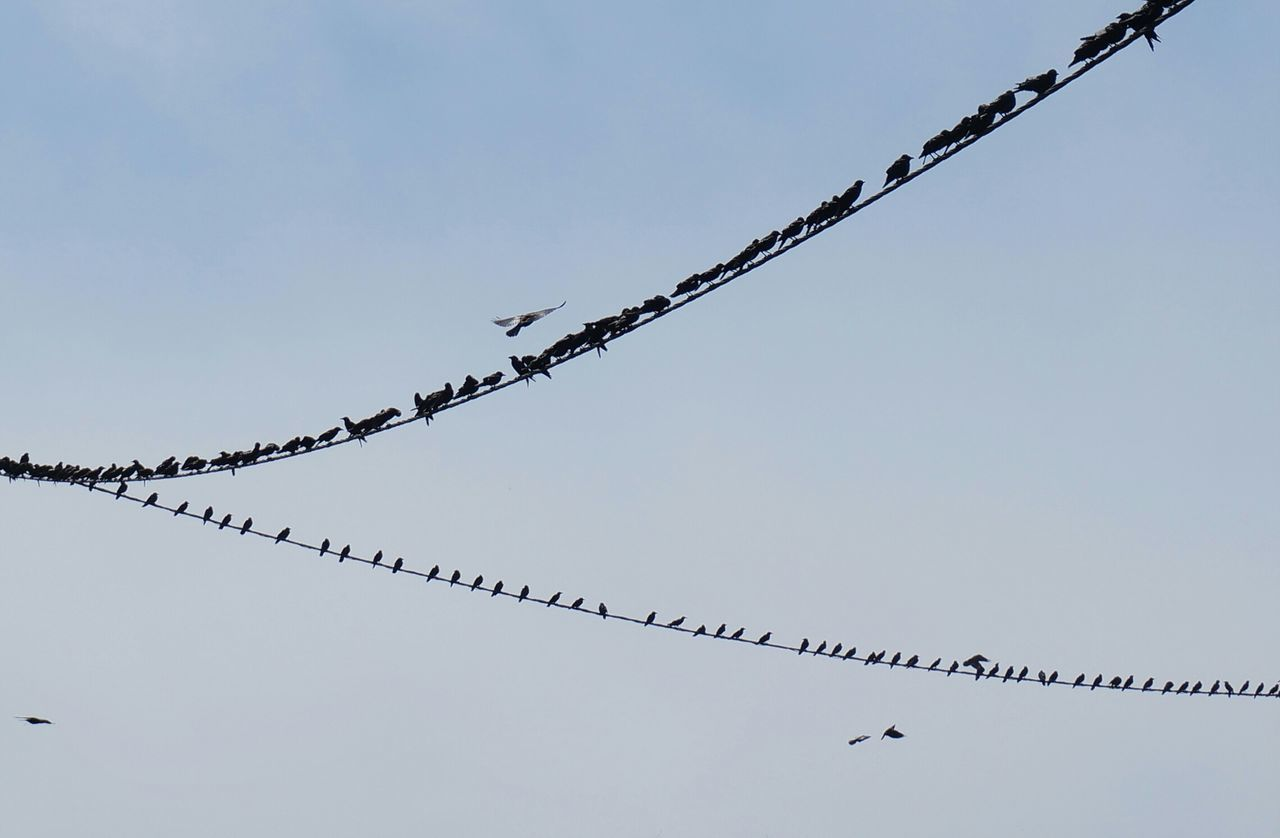 Flock of birds perched on telephone line