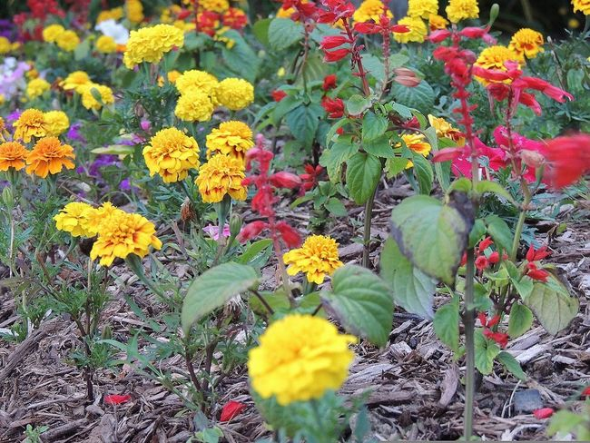 Colorful garden Flower Growth Nature Freshness Beauty In Nature Plant Yellow Blooming Flower Head No People Petal Multi Colored Day Outdoors Beauty In Nature Floral Plant