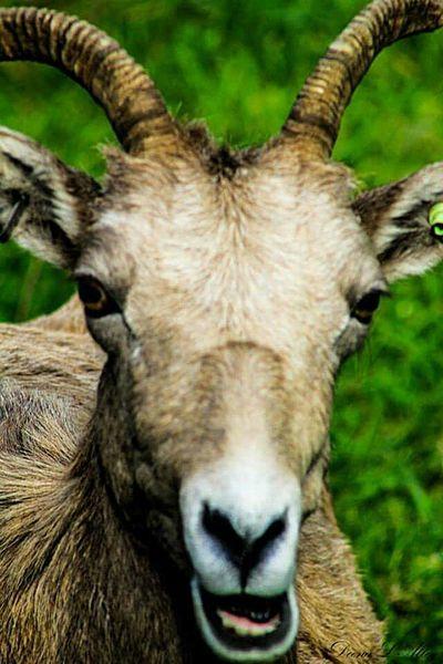 Big Horn Sheep Washington Wildlife Northwest Trek