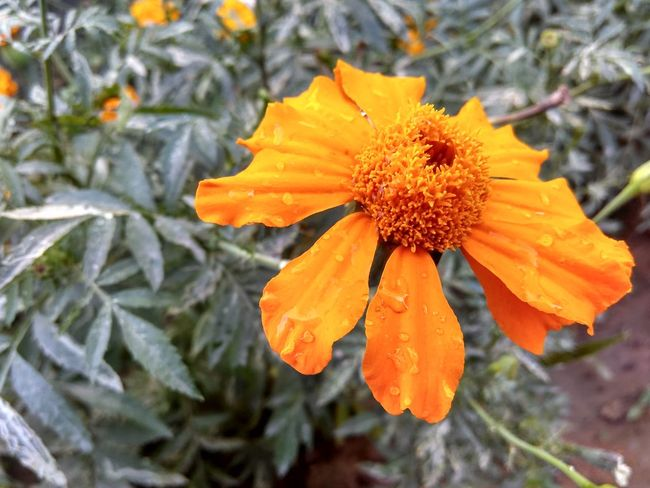 Marigold Flower Flower Photography Nature_collection Nature_perfection Naturelovers Blossom Beautiful Nature Flowers, Nature And Beauty Flower Collection EyeEm Natural Beauty Beauty In Nature Nature Nature Photography Gauravsphotography