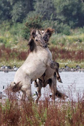 Horses fighting at riverbank
