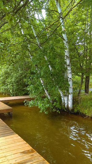 Birch Trees Water_collection Water And Pier Trees And Water Waters Edge Outdoors Scenics Growth Green Color Lake Calm