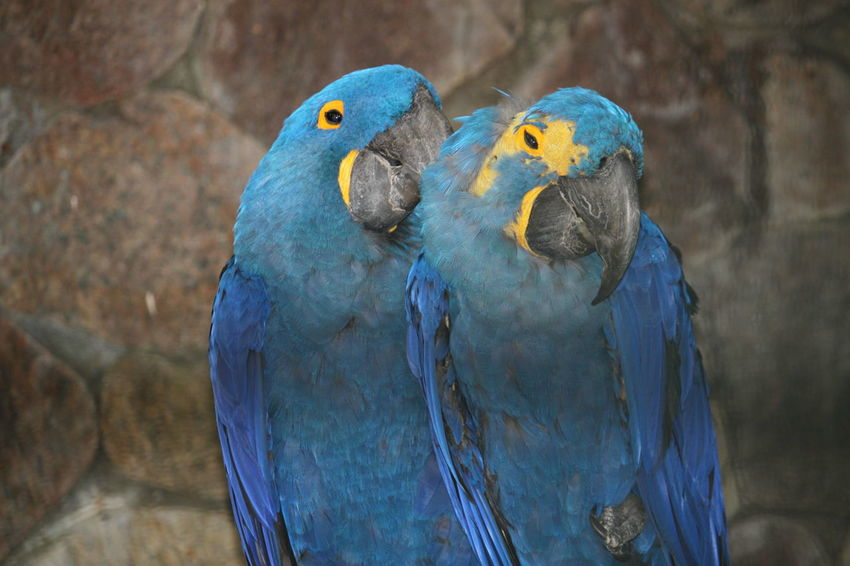 Vogelpark Walsrode Vogelfotografie Bird Photography Hyacinth Macaw Hyacinth Arra Macaw Bird Gold And Blue Macaw Parrot Perching Multi Colored Blue Pets Feather  Beak Tropical Bird