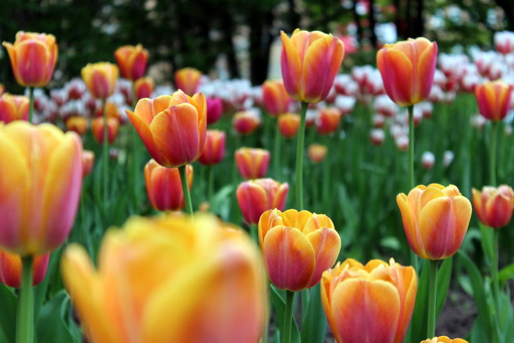 Flower Beauty In Nature Nature Plant Growth Tulip Freshness Multi Colored Flower Head Petal Flowerbed Outdoors Vibrant Color Blossom Close-up Day Summer Green Color Springtime Background Green Botanical Garden Nature Plant Macro Paint The Town Yellow