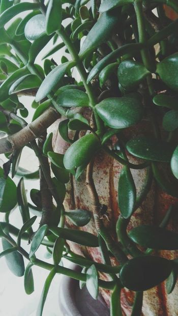 Green Color Money Tree Nature Photography Beautiful Nature Nature Lover Plant Growth