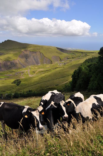 Cows On Green Hills Against Cloudy Sky