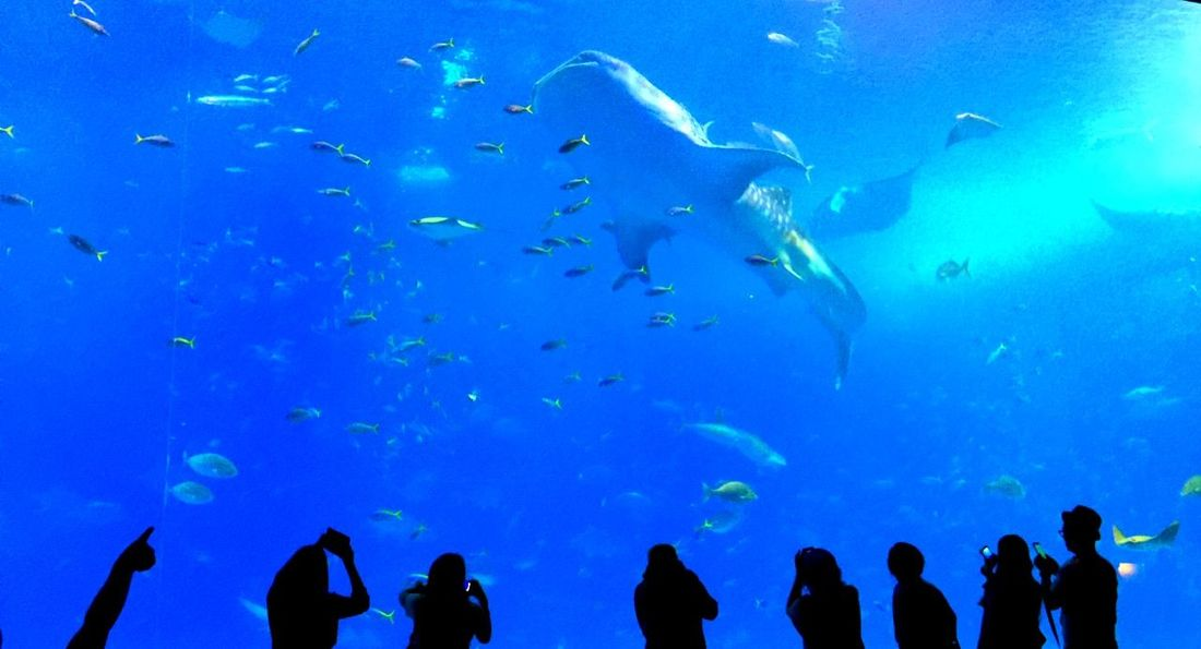 美ら海 沖縄 Okinawa Japan Aquarium Traveling TravelCHINOmrk Travelphotography OKINAWA, JAPAN Shark
