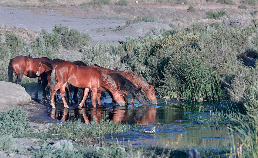 Wild mustang horses drinking at a watering hole in the nevada desert.