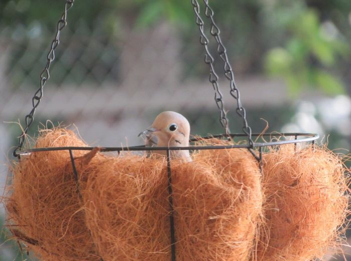 Close-Up Of Mourning Dove In Nest