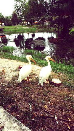 Pelican in paya wet land, Pelican Pelican Birds Pelican Landing, Pelican Bird
