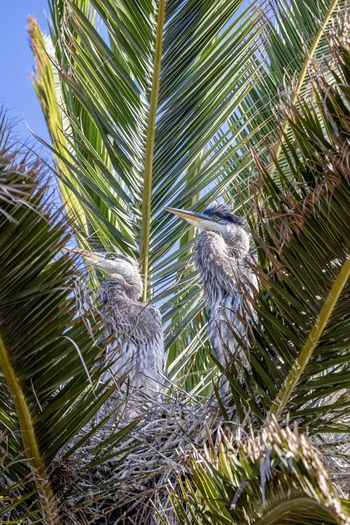 baby great blue heron chics in a nest Bird Animal Wildlife Plant Vertebrate Animal Animals In The Wild Animal Themes Tree Nature No People Leaf Day Plant Part Green Color Growth Palm Tree Outdoors Palm Leaf Great Blue Heron Bird Nest Chics Baby Bird