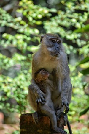 Close-up Animal Themes No People Outdoors Portrait Nature Ape Monkey Animal Animal Wildlife Sitting Mother And Child Primate Baby Monkey Bricks Macaque Full Length Ape Brick Wall Animals In The Wild Nature Young A Mothers Love Devotion Love Visit Ipoh