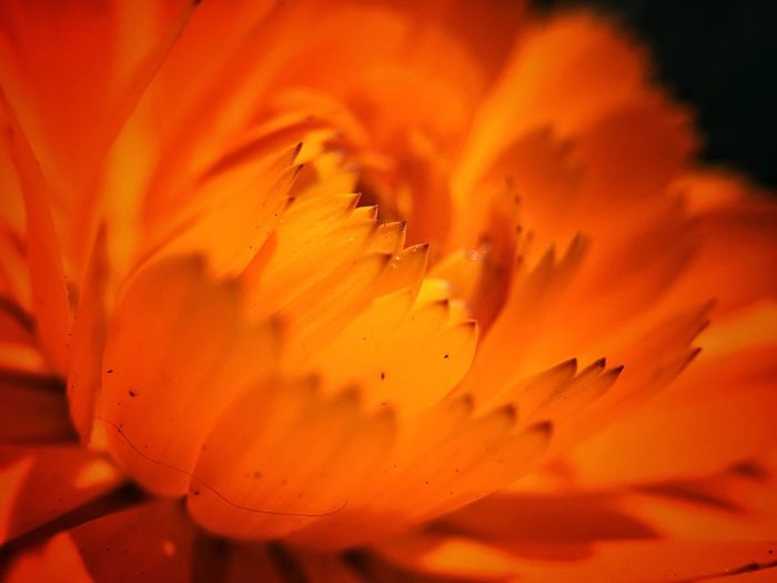 Close-up of flower petals