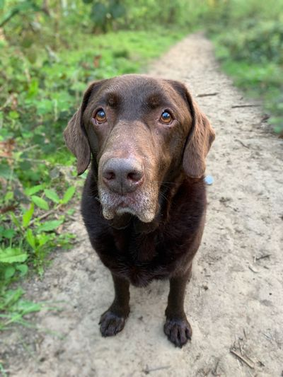 Chocolate Labrador Dog Walking Chocolate Labrador Retriever Labrador EyeEm Selects One Animal Mammal Canine Portrait Looking At Camera Outdoors