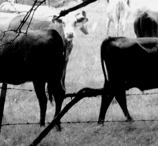 A face among butts Taking Photos Livestock Cows Rural Scene Cheese! Rainy Day Black And White Black&white Roadside Spotted Me Farm Life Check This Out Faces Of EyeEm