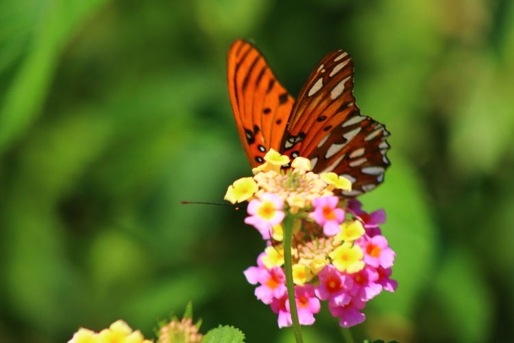 Close-up of butterfly pollinating on pink flower in park
