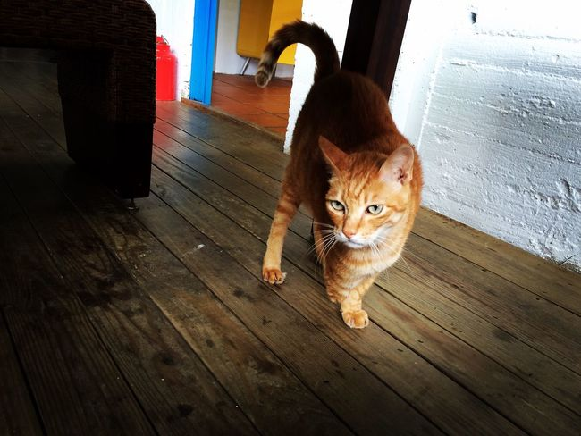 Animal Themes Cat Hardwood Floor Three Feet Stare Orange