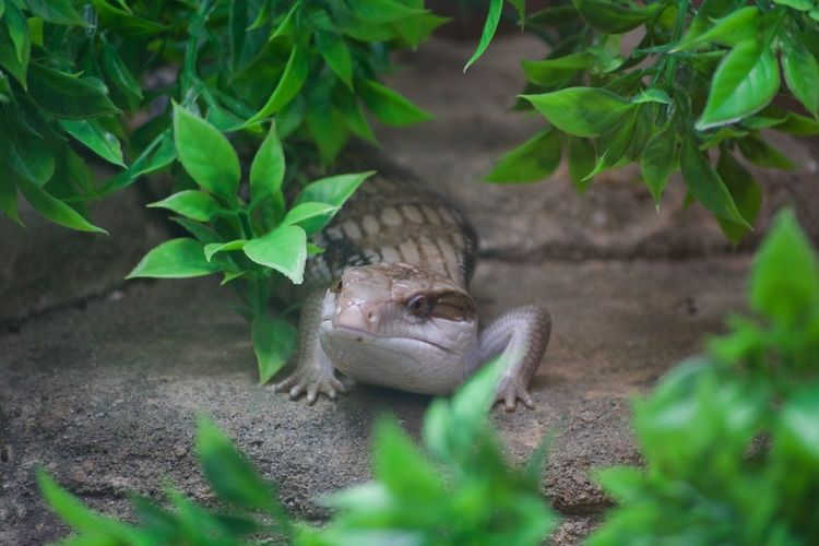 Animal Themes Animal Wildlife Animals In The Wild Close-up Day Green Color Growth Iguana Leaf Nature No People One Animal Outdoors Plant Reptile