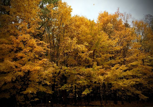 The Beauty of Fall Fall Beauty Fall Colors Fall Trees Falling Leaves Iphone 6 IPhoneography Maple Maple Leaves Trees Yellow Leaves