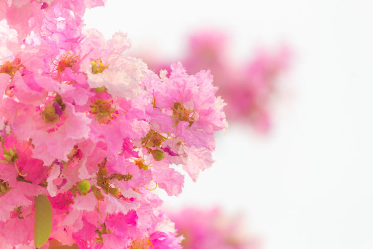 Pink Inthanin