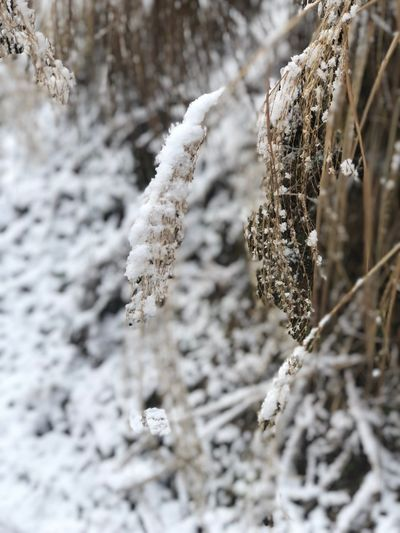 Cold Temperature Snow Winter Frozen Plant Beauty In Nature Nature Close-up Tranquility Frost Focus On Foreground No People Growth Day Tree Ice Fragility White Color Outdoors Extreme Weather