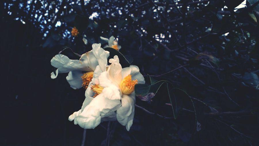 茶花的季節到了,田邊行車匆匆,路旁卻充滿美麗的點綴。 Flowers