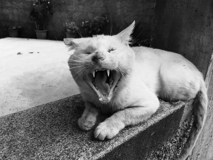Close-Up Of A Relaxed Cat Yawning