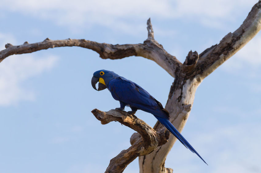 Hyacinth macaw, Pantanal wildlife, Brazil Animal Wildlife Animal Bird Vertebrate Animals In The Wild Animal Themes Tree One Animal Low Angle View Day Nature Sky Outdoors Parrot Blue Parrot Macaw Macaw Parrot Hyacinth Macaw Wildlife Wildlife & Nature Wildlife Photography Brazil Pantanal