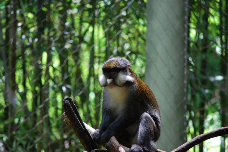 Animal Themes Animal Wildlife Cute Day Guenon Monkey Heart Nose ! Lemur Mammal Monkey Nature No People One Animal Outdoors Tree