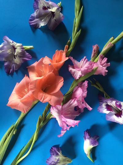 Gladiolus on