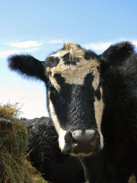 Agriculture Animal Animal Head  Beef Black Black Angus Canonphotography Cattle Cow Domestic Animals Farm Hay Livestock Looking At Camera Ranch Sky