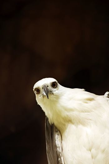 White-bellied sea eagle looking straight at camera