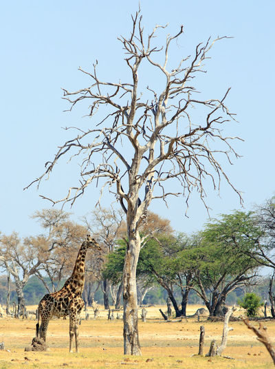 Safari Safari Animals Nature No People Outdoors Hwange National Park Animals In The Wild Natural Beauty Nature Wildlife Photography Tree Mammal Animal Animal Themes Giraffe Animal Wildlife Day Branch Field Clear Sky Arid Climate Environment Land