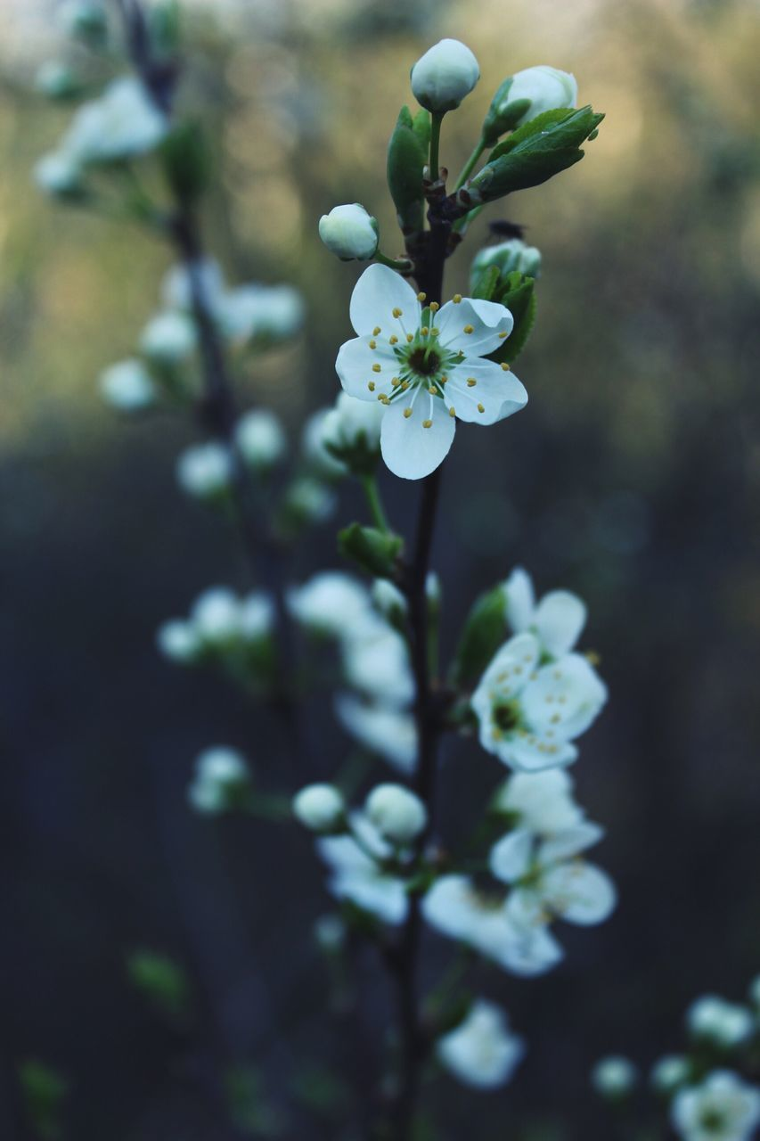 flower, fragility, blossom, nature, beauty in nature, growth, petal, freshness, focus on foreground, white color, apple blossom, botany, flower head, day, springtime, no people, close-up, outdoors, stamen, plant, tree, branch, blooming