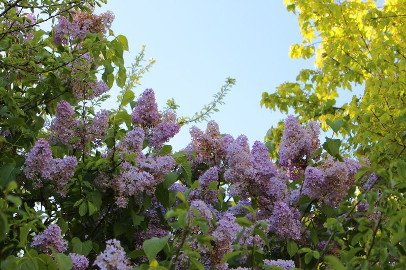 Nature Flower Tree Nature Beauty In Nature Branch Lilac Blue Sky Saint Cosme En Vairais France