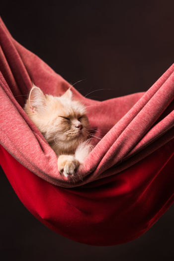 Sleeping Persian cat in hammock. Breed Persian Cat  Animal Animal Themes Black Background Cat Comfortable Domestic Domestic Animals Domestic Cat Eyes Closed  Fluffy Indoors  Luxury Mammal Napping One Animal Pets Red Relaxation Resting Sleeping Studio Shot Whisker