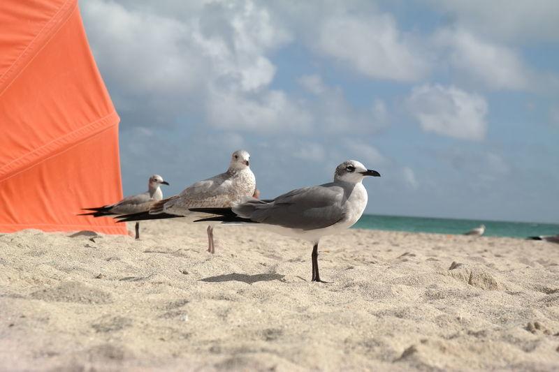 Seagulls in beach, birds in Miami Beach Bird Horizon Over Water No People Ocean Sea Sea Bird Seagull Shore