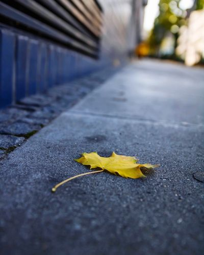 Close-up of yellow maple leaf on footpath