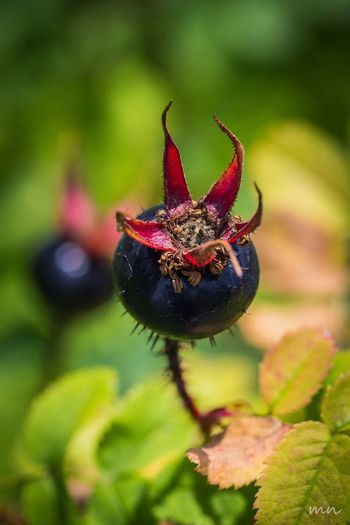 Beauty In Nature Black Color Botany Close-up Diabolic Flower Focus On Foreground Green Color Growth Nature Plant